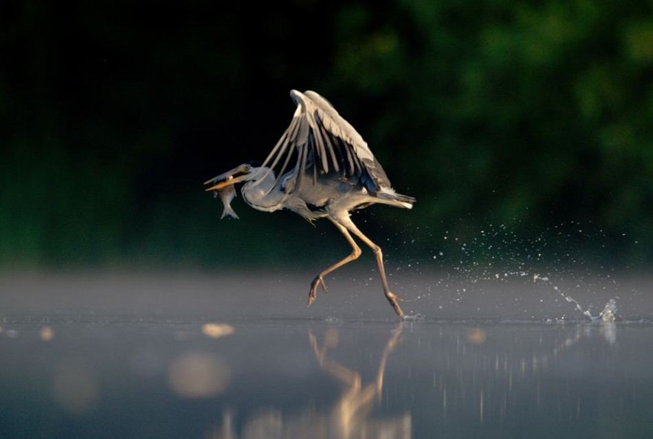 Grey Heron Walking on Water