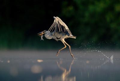Grey Heron Walking on Water