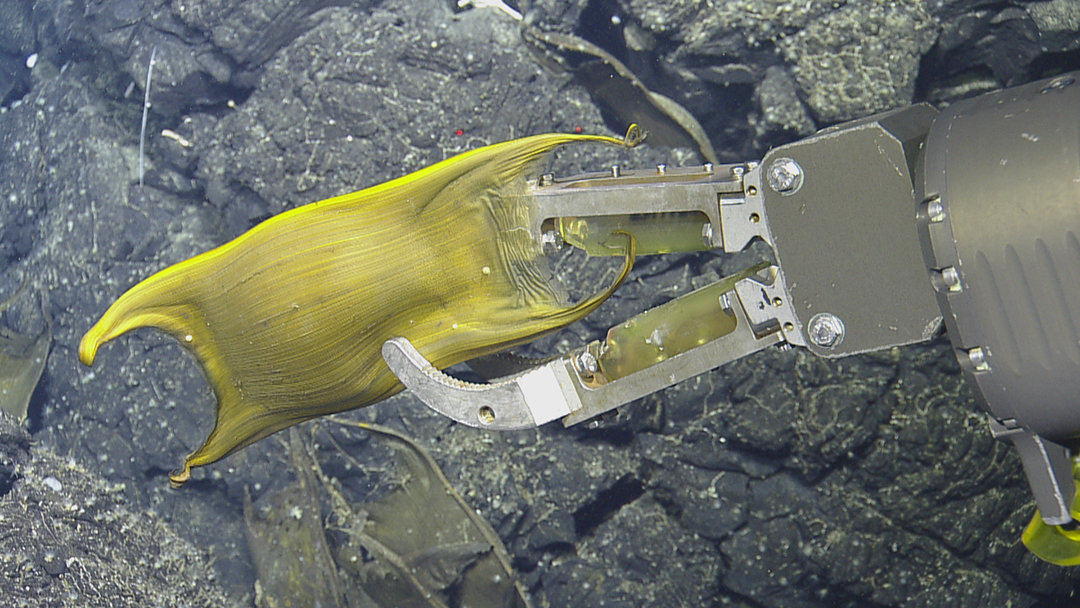 Skate creates 'nurseries' around hot, deep-sea vents