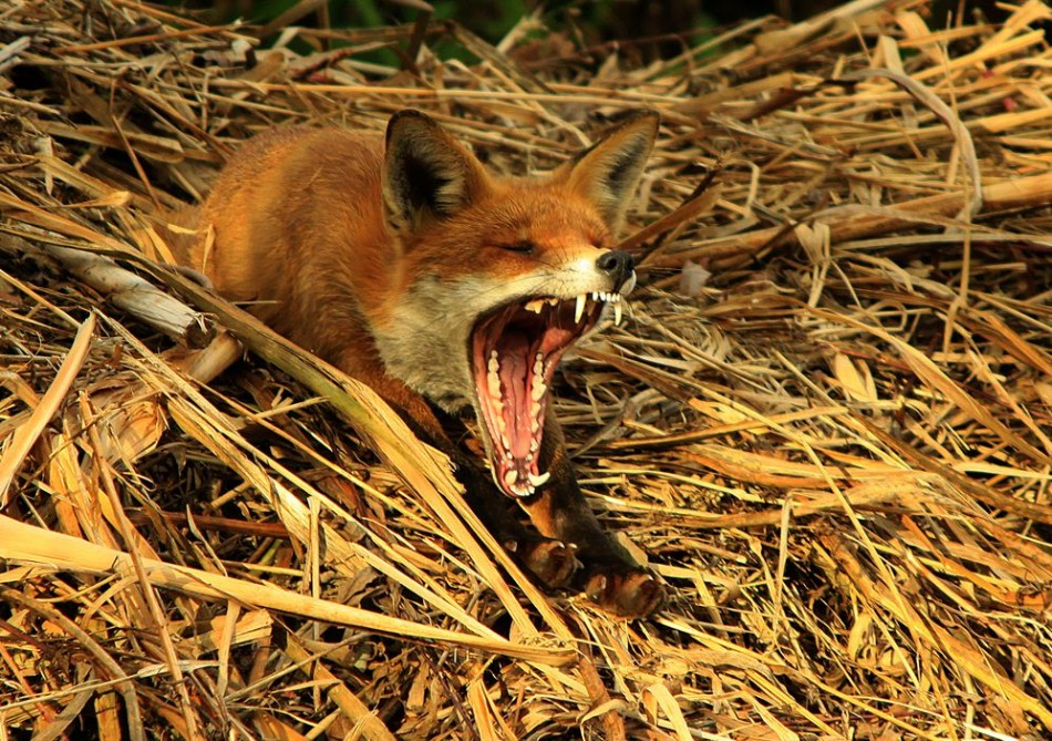 Red Fox Yawning After His Afternoon Nap