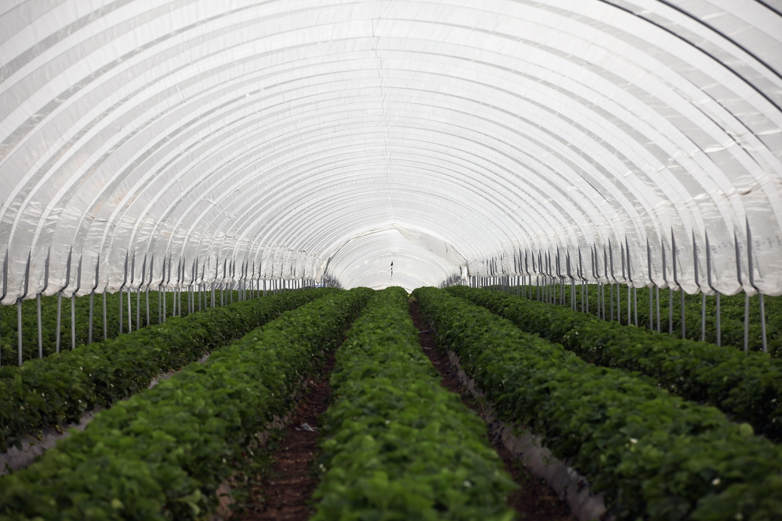 Strawberry farm in Shropshire, UK
