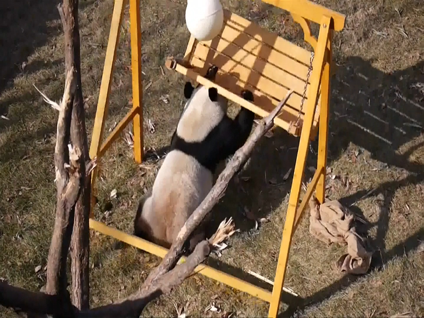 Chinese pandas roll and play in the snow after being let out for the first time in Finland zoo