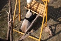 Four Playful Panda Cubs Entertain Chinese Zoo Visitors