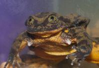 Romeo single frog