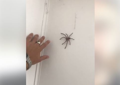 Leroy Horton vs Huntsman spider