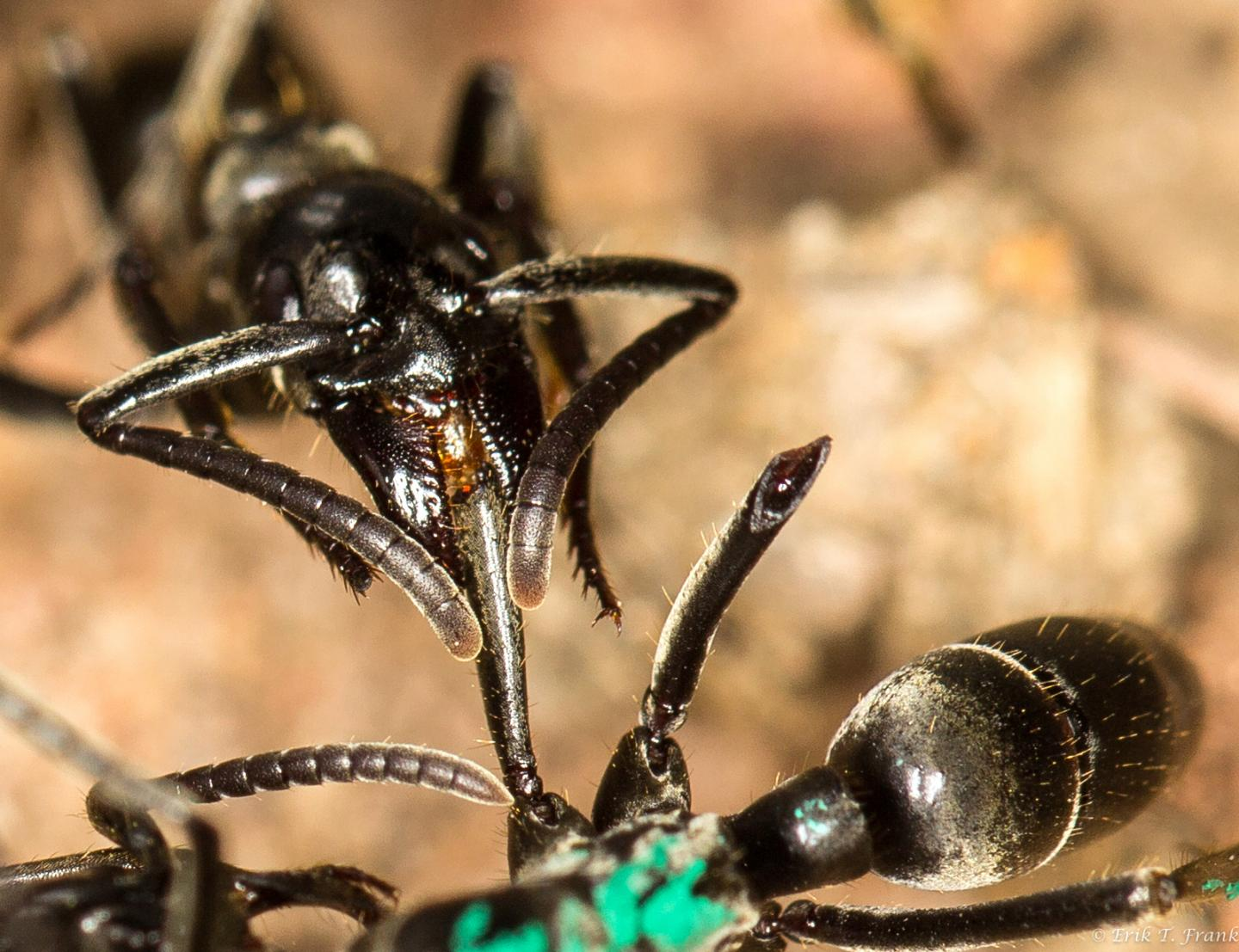 A Matabele ant treats the wounds of a mate whose limbs were bitten off during a fight with termite soldiers.