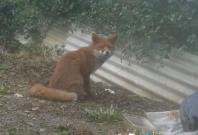 Fox attacks baby
