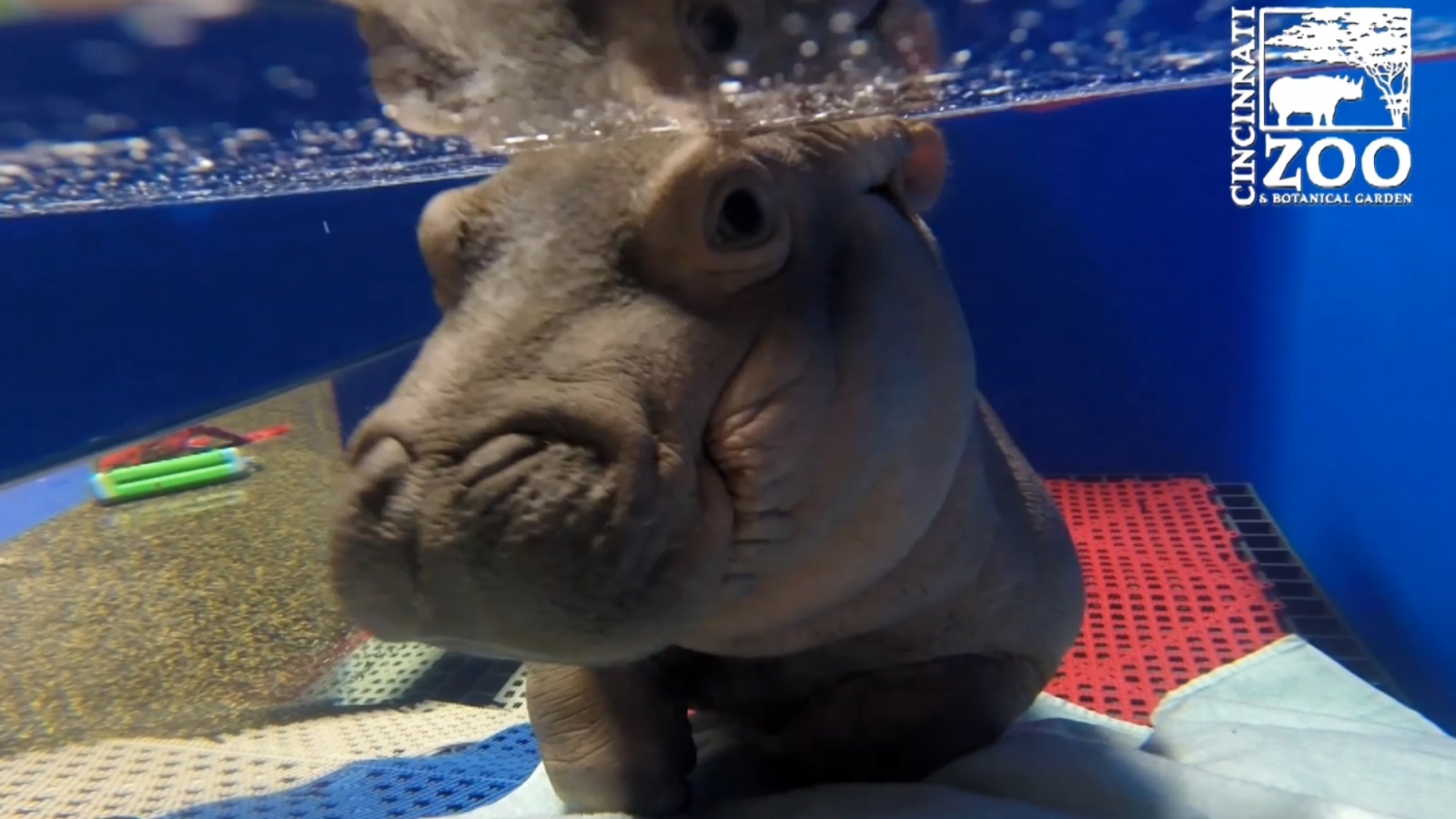 this-never-before-seen-footage-of-baby-hippo-fiona-will-make-your-heart-melt
