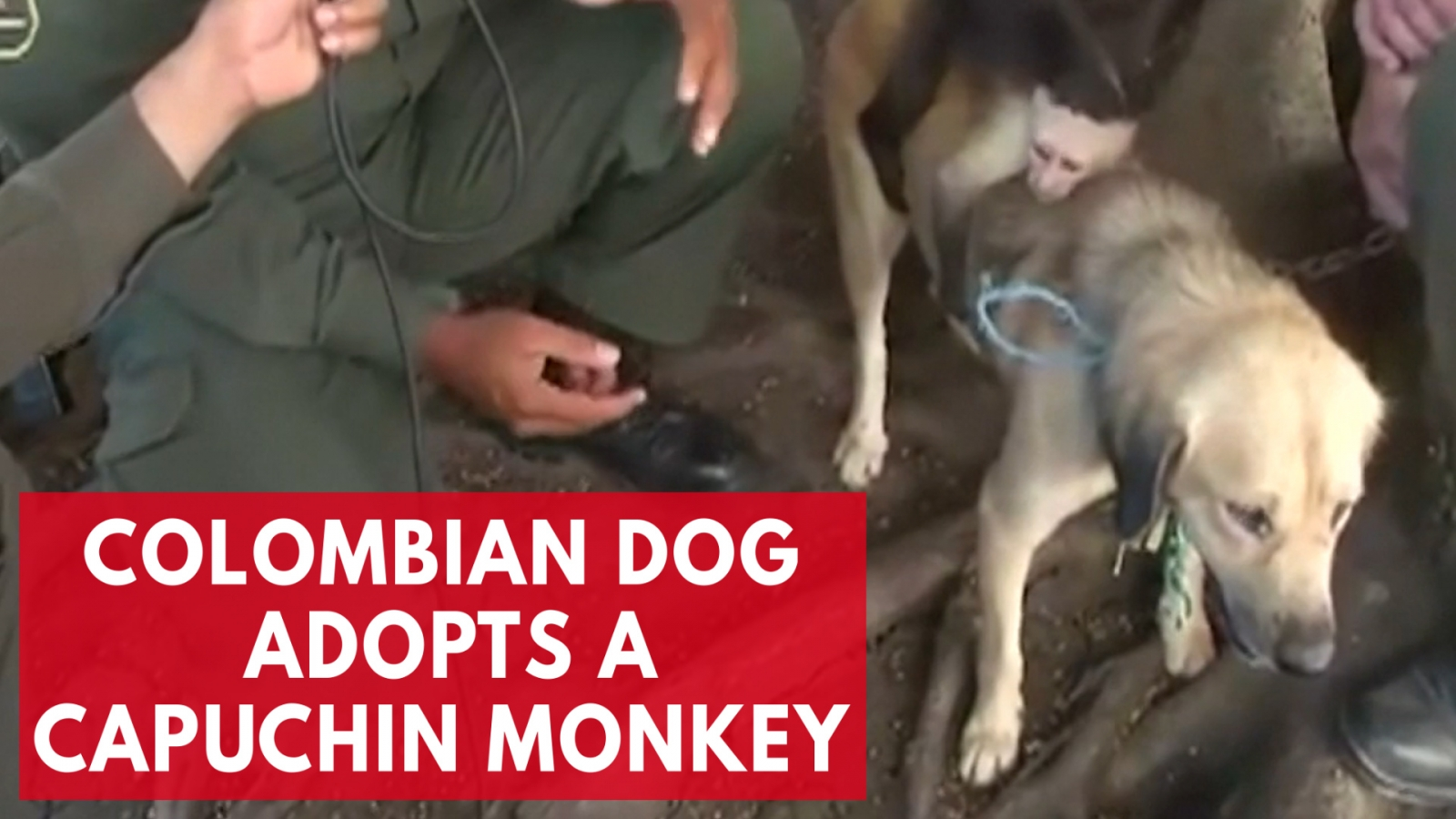 a-colombian-dog-adopts-capuchin-monkey-in-unlikely-friendship