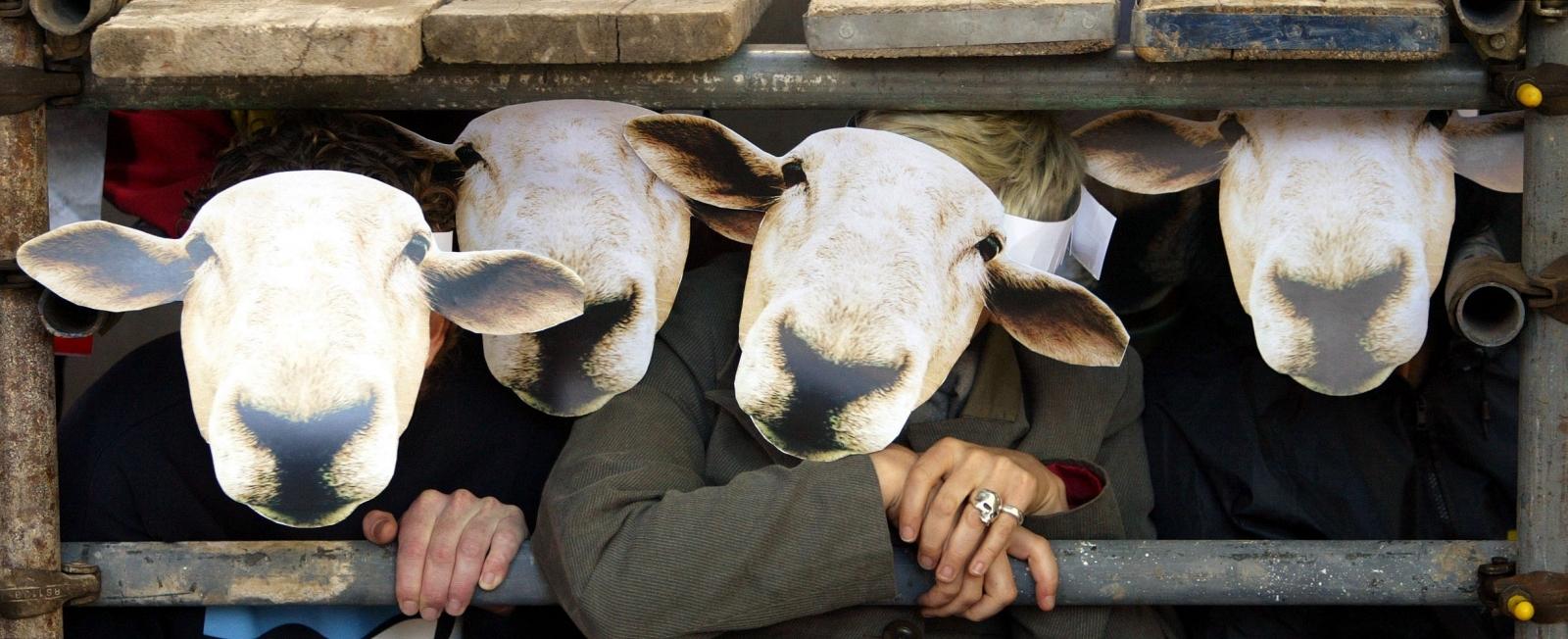 Sheep humans