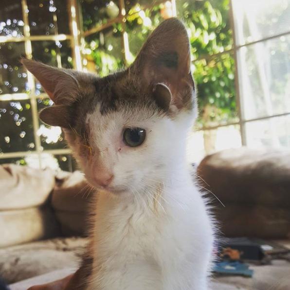 Four-eared kitten