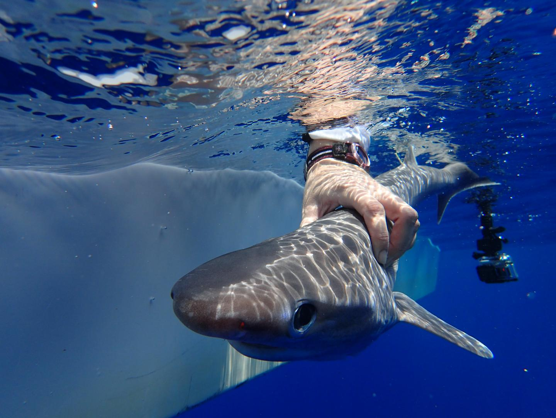 Atlantic sixgill shark