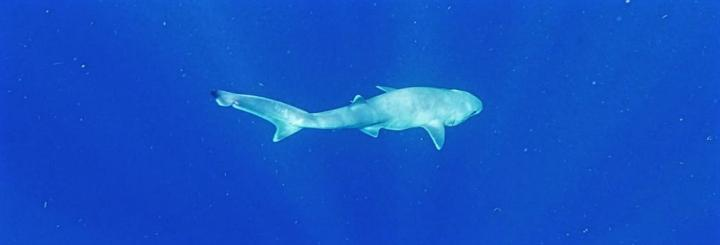 Atlantic sixgill shark