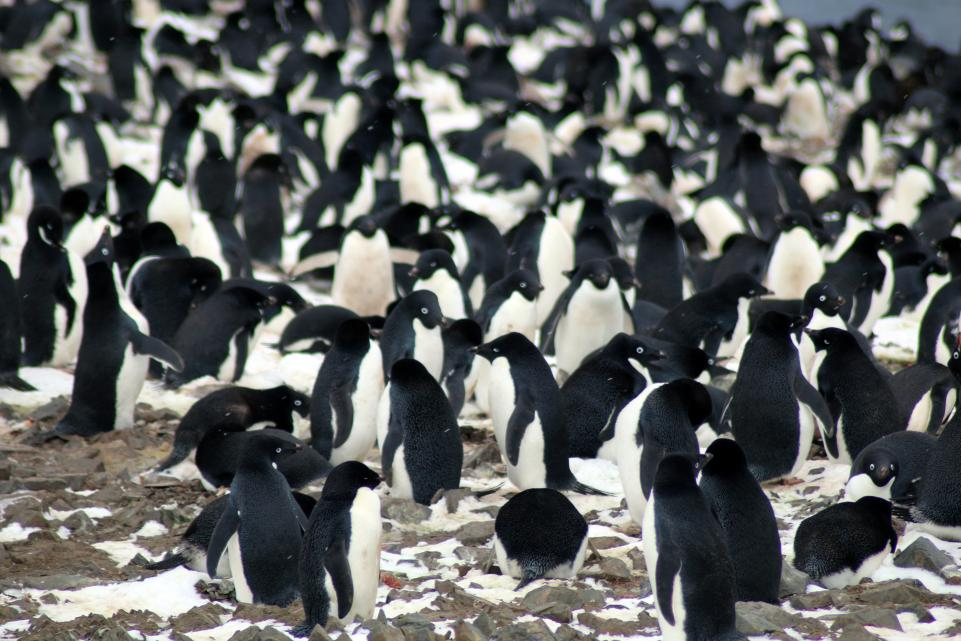 Scientists have discovered 'mega-colonies' of penguins among the remote islands of Antarctica