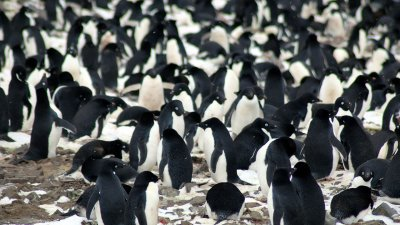 Penguin supercolony Antarctica