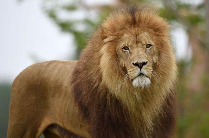 Lion Krugger