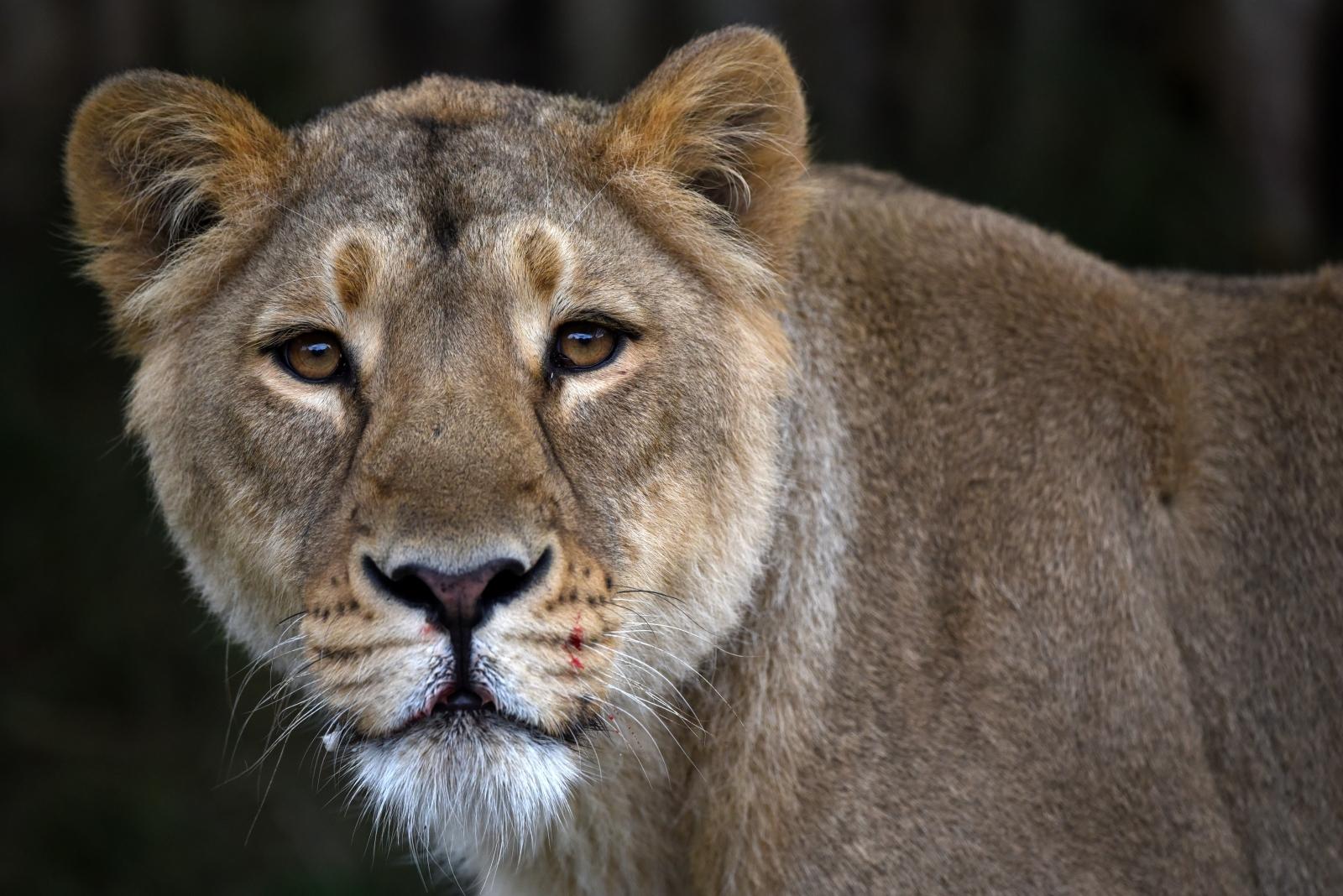 Lioness Lion