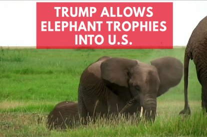 Trump Quietly Gives Go Ahead For Elephant Trophy Imports Into U.S.