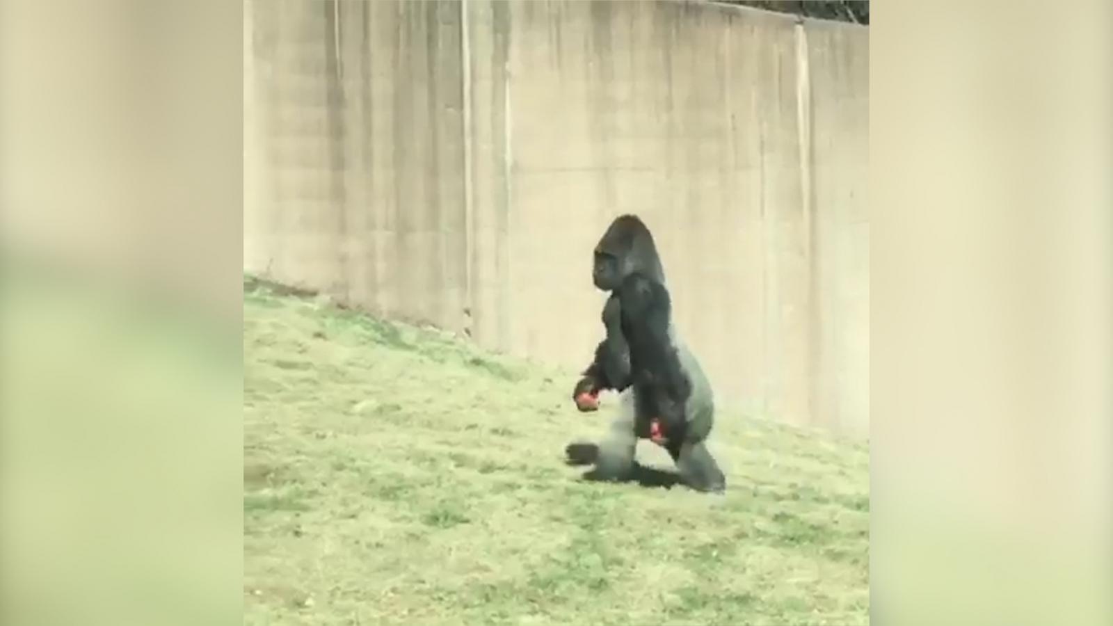 watch-philadelphia-zoo-gorilla-walking-upright-like-a-human