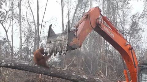orangutan confronts digger