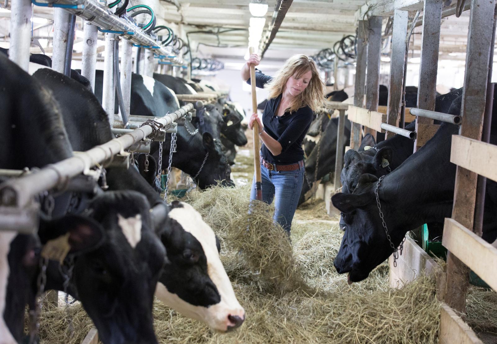 Dairy cows Canada