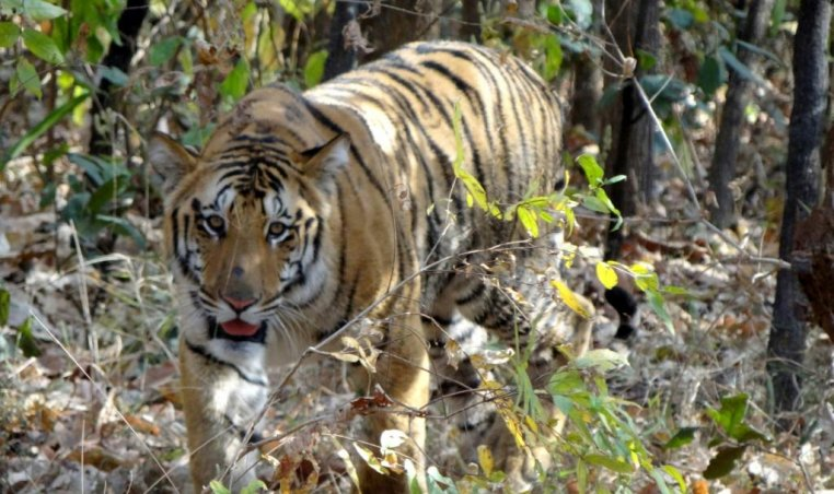 Indian Tigers