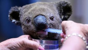 Bushfire-hit koalas