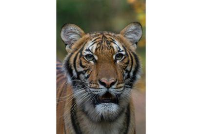 New York Zoo Tiger