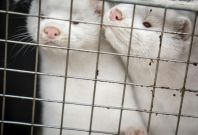 Minks to be culled in Denmark