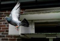 European Pigeon