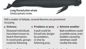 Pilot Whale beaching