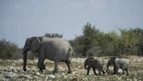 Elephants for sale in Namibia