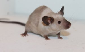 Paralysed Mice Gene Therapy