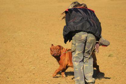 French mastiff bulldog