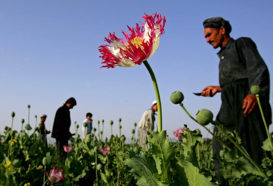 Afghan poppy farmers