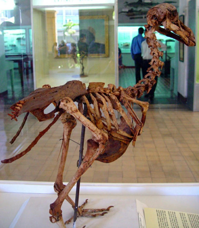 A skeleton of a Mauritius Dodo bird which was found by E. Thirioux, a barber.