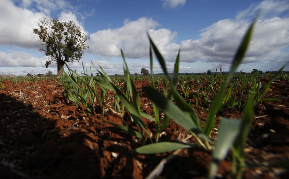 A wheat crop grows at a farm near Parkes