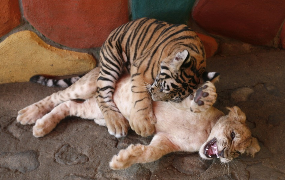 A three-month-old Bengal Tiger plays with a three-month-old lion cub at a zoo in Puerto Vallarta