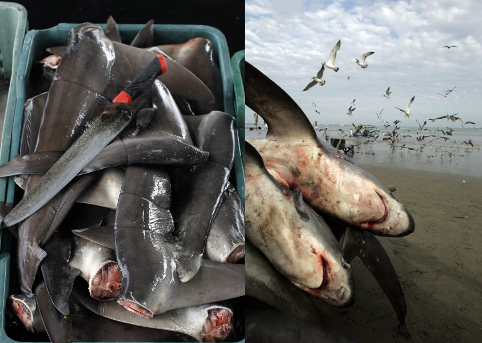 2,000 Sharks Killed for Fins off Colombia