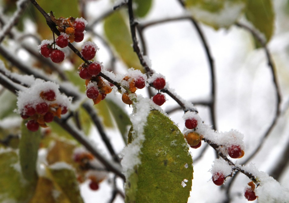 Snow hangs on berries and leaves as an early winter storm starts in Nyack, New York