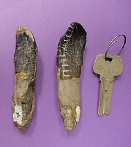 Camarasaurus teeth, from the Dinosaur National Monument, which were used in the study.