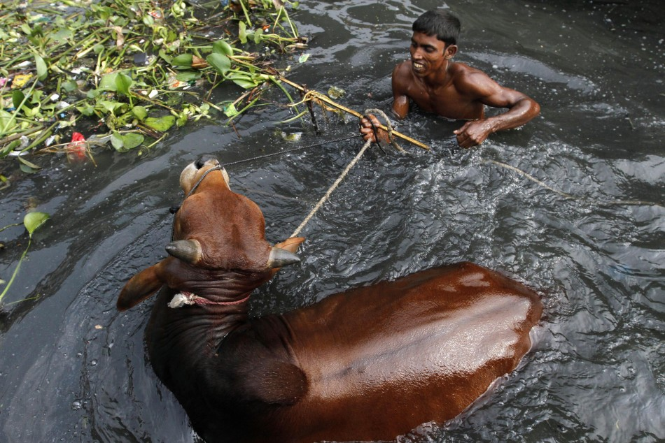 A trader bathes his cow before taking it to market by the Buriganga River in Dhaka