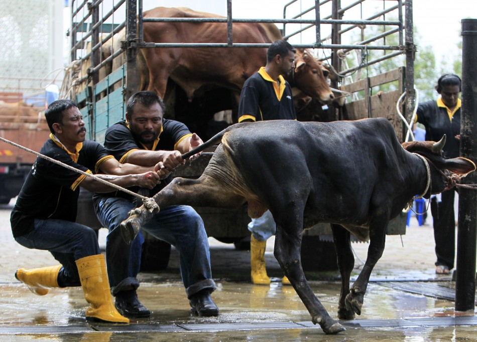 Muslims bring a cow to be slaughtered during the Eid al-Adha festival in Shah Alam outside Kuala Lumpur 06112011