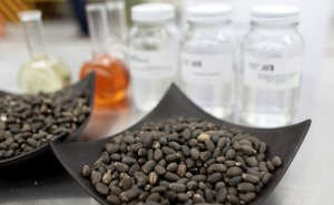 Jatropha seeds, the oil of which is used to produce biofuel