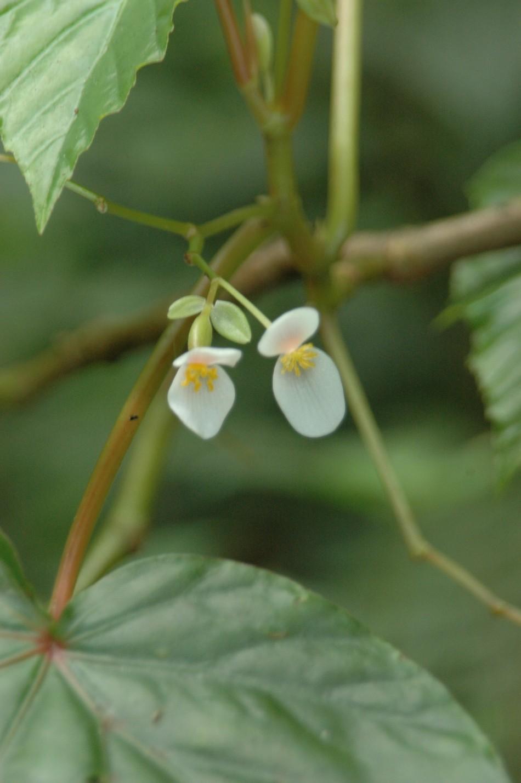 Begonia Seychellensis