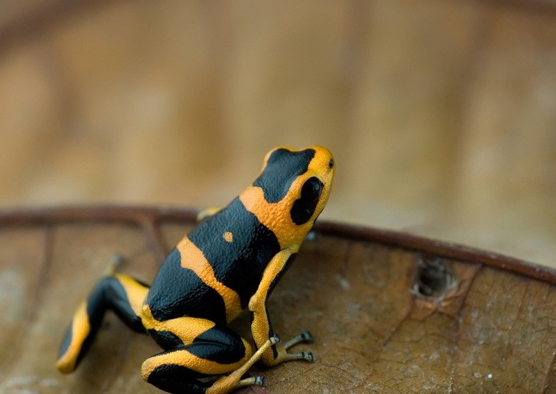Summers Poison Frog