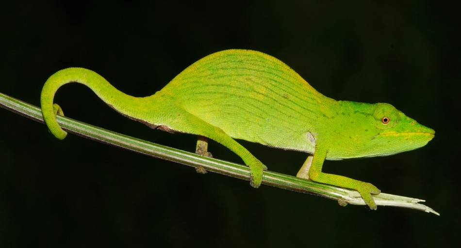 Tarzan's Chameleon