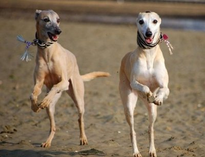 Running Whippets by Amy Wilton