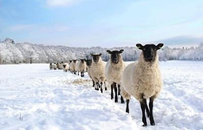 Line of Sheep by Chris Pritchard
