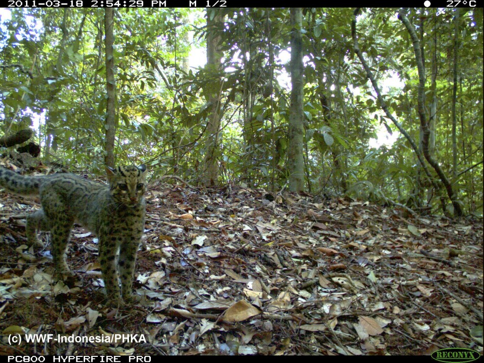 Photo of a Marbled Cat captured using camera traps in Bukit Tigapuluh